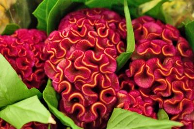 ЦЕЛОЗИЯ (Celosia argentea), НАРИЧАНА ОЩЕ ПЕТЛЬОВ ГРЕБЕН