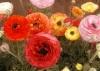 ЛЮТИЧЕ (Ranunculus)