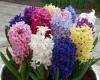 ЗЮМБЮЛЪТ (Hyacinthus orientalis) НЕ ОБИЧА МНОГО СТУДЕНО